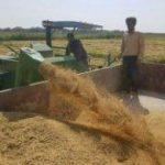 سطح زیر کشت برنج در شهرستان پارس آباد از یک هزار هکتار گذشت